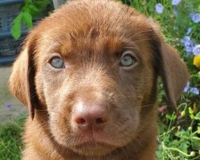 American Labrador Retriever Puppies