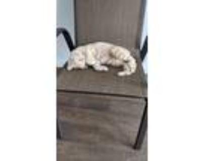 Adopt Margarita a Tan or Fawn Tabby American Shorthair / Mixed (short coat) cat