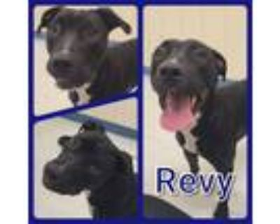 Adopt Revy a Pit Bull Terrier