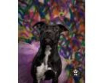 Adopt Autumn a Black - with White Pit Bull Terrier / Mixed dog in Broken Arrow