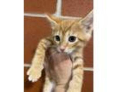 Adopt Jimmy a Orange or Red Domestic Mediumhair / Domestic Shorthair / Mixed cat
