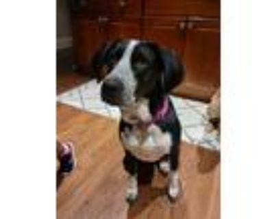 Adopt Jules a Black - with White Labrador Retriever / Pointer / Mixed dog in