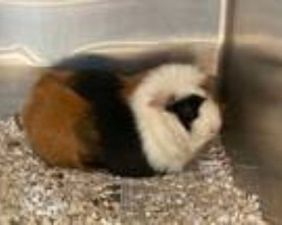 Adopt TEDDY a Black Guinea Pig / Mixed small animal in Dallas, TX (31628203)