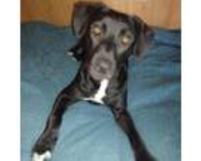 Adopt Tilly a Black Labrador Retriever, Mixed Breed