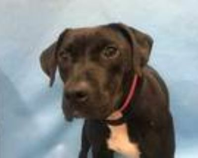 Adopt Sophi a Black Bull Terrier / Mixed dog in Coon Rapids, MN (31456425)