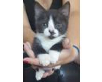 Adopt Pedroia and Penny (Applications Closed) a Domestic Short Hair