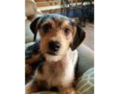 Adopt Whopper $450 (APPLICATIONS PENDING) a Dachshund