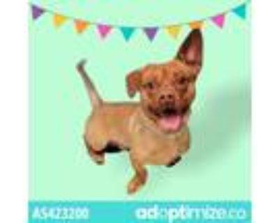 Adopt a Brown/Chocolate Corgi / Dachshund / Mixed dog in Gardena, CA (31686664)