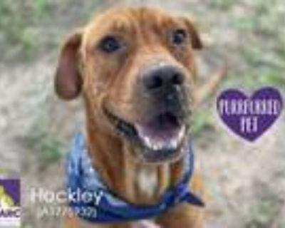 Adopt HOCKLEY a Labrador Retriever, Mastiff