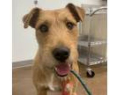 Adopt Reba a Wirehaired Pointing Griffon, Airedale Terrier