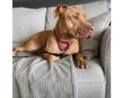 Adopt Ren a Brown/Chocolate American Pit Bull Terrier / Mastiff / Mixed dog in