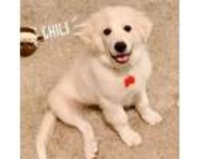 Adopt Chilli a Great Pyrenees, Mixed Breed