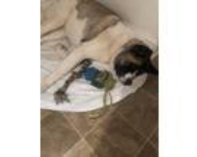Adopt Pluto a Brindle - with White Akita / Mixed dog in Atlanta, GA (31153779)