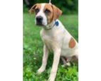 Adopt Andy a Boxer, Hound
