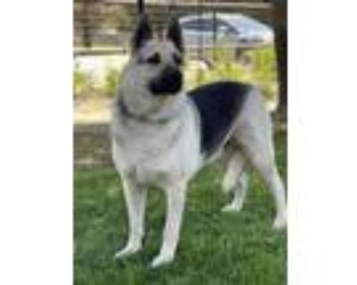 Adopt Buddy a German Shepherd Dog