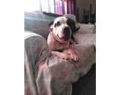 Adopt Rosco a Black - with White American Pit Bull Terrier / Mixed dog in