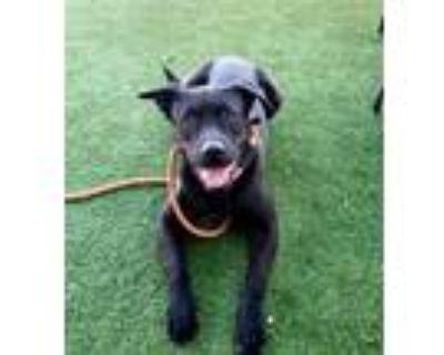 Adopt Beckham - Phoenix area (COURTESY POST) a Black Labrador Retriever