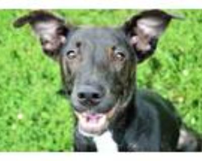 Adopt BUTCH CASSIDY a Brindle - with White Labrador Retriever / Mixed dog in