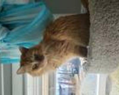 Adopt Rocky a Orange or Red Tabby Domestic Mediumhair / Mixed (medium coat) cat