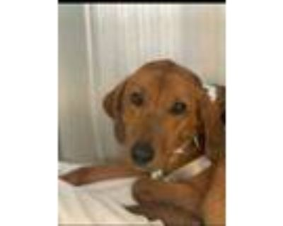 Adopt Rusty a Brown/Chocolate Hound (Unknown Type) / Mixed dog in Philadelphia