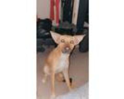 Adopt Harley a Tan/Yellow/Fawn Beagle / German Shepherd Dog / Mixed dog in