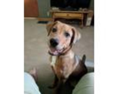 Adopt Jesse a Brown/Chocolate - with White American Pit Bull Terrier / German