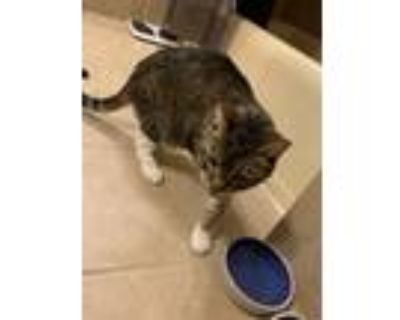 Adopt Declawed Mittens (traumatized needs quiet home) a Tan or Fawn Domestic