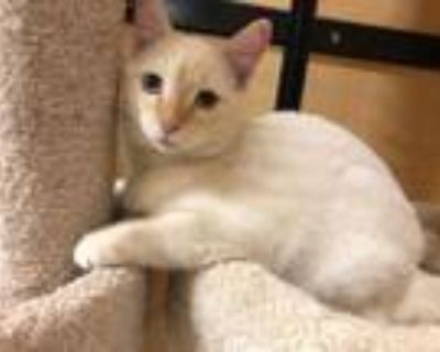 Adopt Frosty a Siamese, Domestic Short Hair