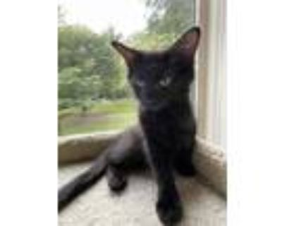 Adopt Albert a All Black Domestic Longhair / Mixed cat in Palatine