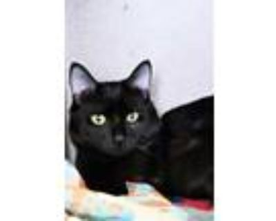 Adopt Winston a All Black Domestic Shorthair / Domestic Shorthair / Mixed cat in