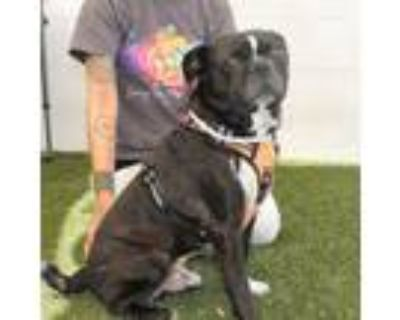 Adopt Tibo a Pug, Boston Terrier