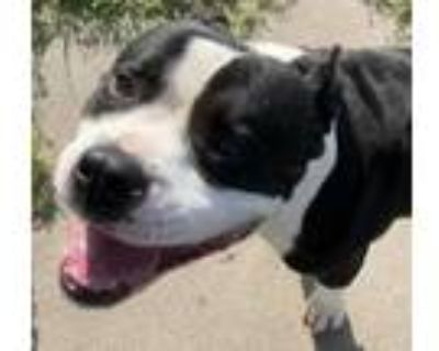 Adopt Jenkins a Pit Bull Terrier