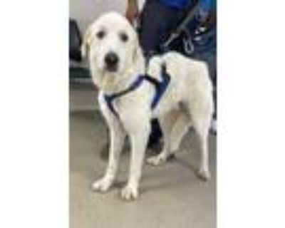 Adopt Deuce a White Great Pyrenees / Mixed dog in Fort Worth, TX (32064792)