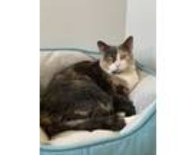 Adopt Skittles a Gray or Blue Domestic Shorthair / Domestic Shorthair / Mixed