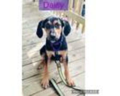 Adopt Daisy a Coonhound, Rottweiler