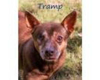 Adopt Tramp a Red/Golden/Orange/Chestnut Terrier (Unknown Type