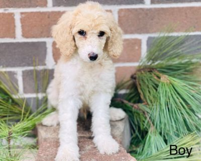Akc standard poodles