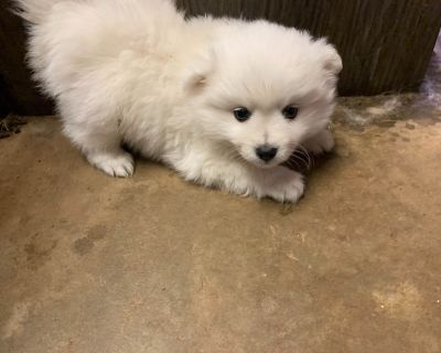 American Eskimo Dog Puppies  Miniature