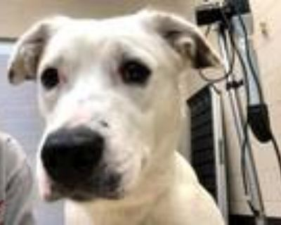 Adopt JENNY a Pit Bull Terrier, Mixed Breed