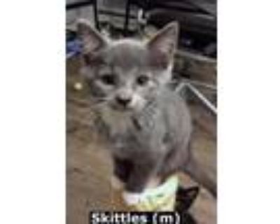 Adopt Skittles a Gray or Blue (Mostly) Russian Blue (short coat) cat in