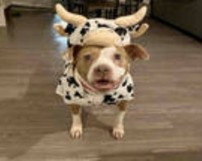 Adopt SASA a Brown/Chocolate - with White American Pit Bull Terrier / Mixed dog