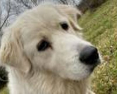 Adopt Ara - Loves Cats and People a Great Pyrenees