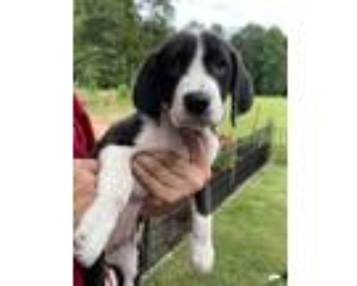 Adopt Tina a White - with Black Beagle / Labrador Retriever / Mixed dog in