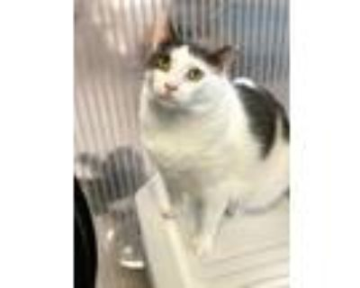 Adopt Willy M a Domestic Shorthair / Mixed (short coat) cat in Margate