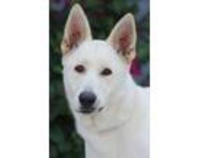 Adopt Anina von Amerang a White German Shepherd Dog / Mixed dog in Los Angeles