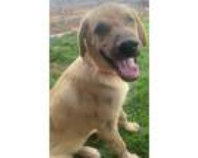 Adopt Mercy a Anatolian Shepherd, Caucasian Sheepdog / Caucasian Ovtcharka
