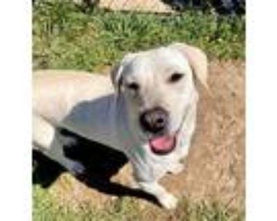Adopt Skky a Tan/Yellow/Fawn Labrador Retriever dog in Boulder, CO (31453254)