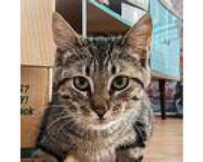 Wolfie, Domestic Shorthair For Adoption In Palatine, Illinois