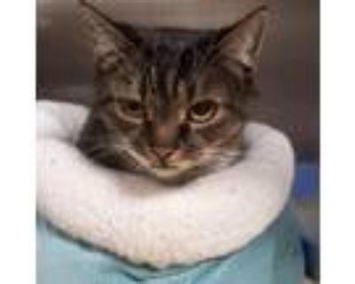 Adopt Miss Kitty Cat a Domestic Short Hair