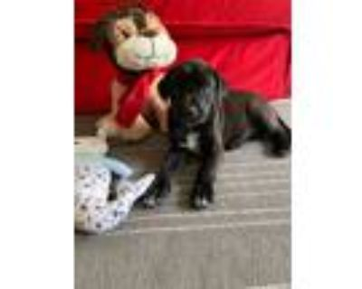 Adopt Elfenland a Black Labrador Retriever dog in Merrifield, VA (31480376)